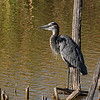 Blue heron posed for us nicely