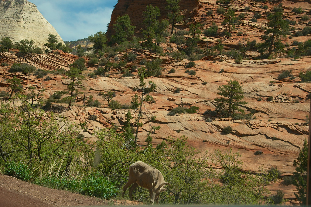 Mountain goat grazing along the road, Zion
