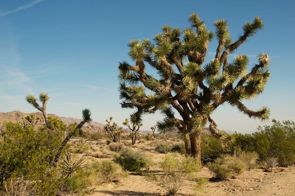 Magnificant Joshua Tree