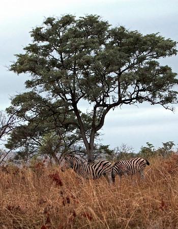 Zebras, buffaloes and a crock