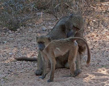 Monkeys, baboons and bats