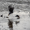 "Eagles and crows fight for fish scraps in Kodiak.  <div class=""ss-paypal-button"">180923-KODIAK CAMPUS-JRE-0128.jpg</div><div class=""ss-paypal-button-end""></div>"