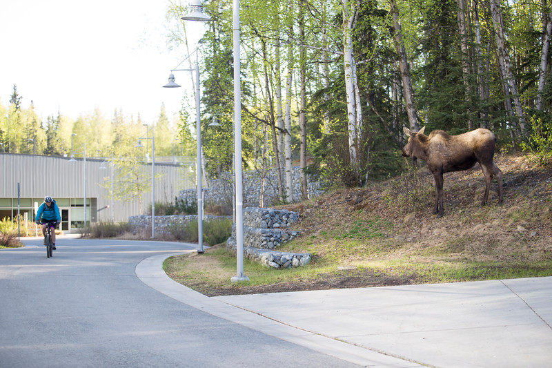 A moose munching her breakfast outside of the CPISB building on the campus of the University of Alaska Anchorage