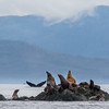 Steller Sea Lions on an islet in The Brothers