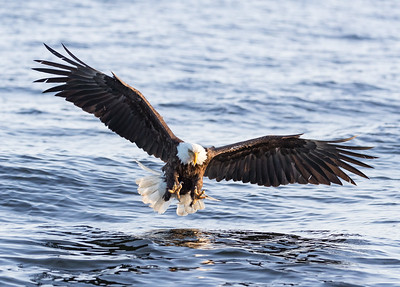 Bald eagles are magnificent as they swoop down to grab fish