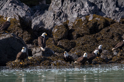 There are so many herring that some eagles simply sit on the shoreline and grab fish without flying up