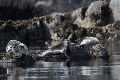 Harbor seals are also easily found around Sitka