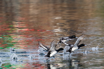 There are many varieties of ducks.  These are lesser scaup taking flight