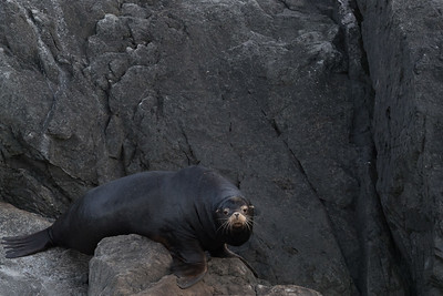 California sea lions are a new arrival to the area