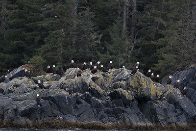I count twenty-six eagles sitting on this rock