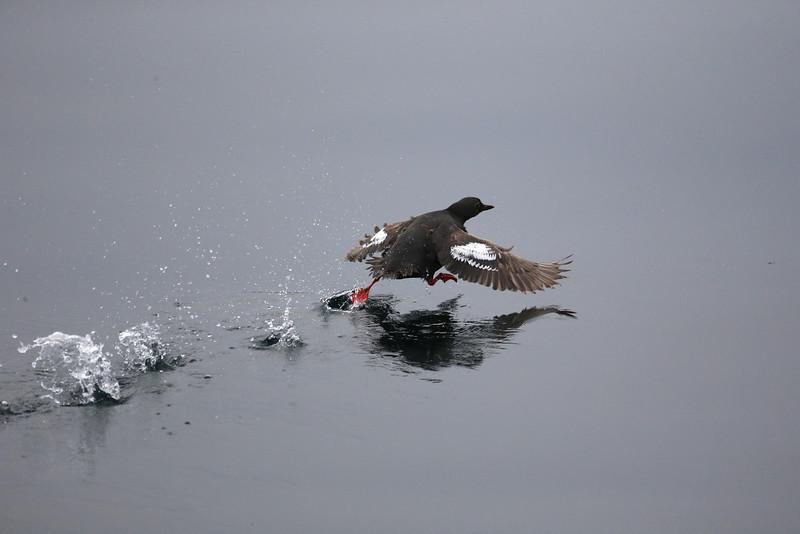 Pigeon Guillemot taking fright.