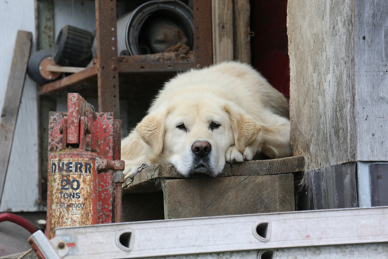 A very friendly-looking guard dog in Kake