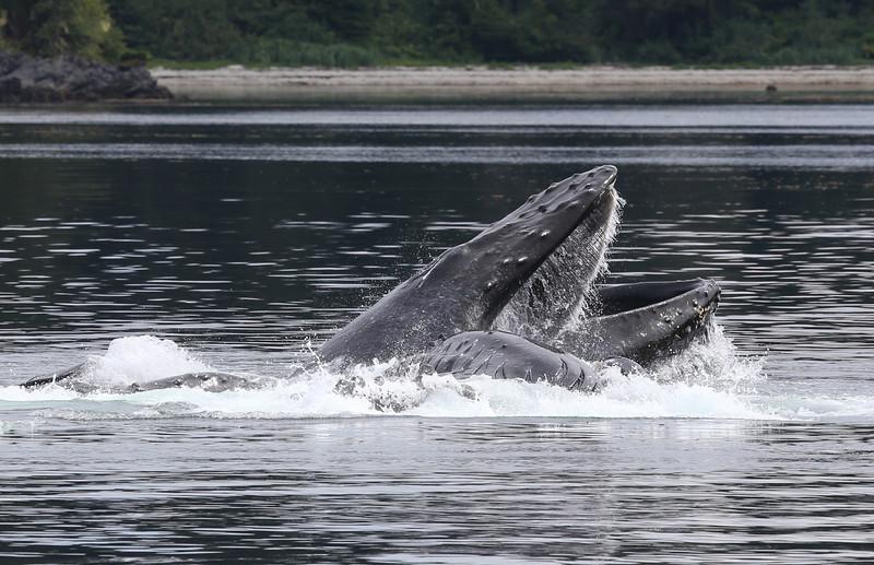 Three Humpbacks bubble-net feeding in Frederick Sound.