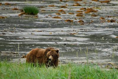 Grazing Coastal Brown Bear