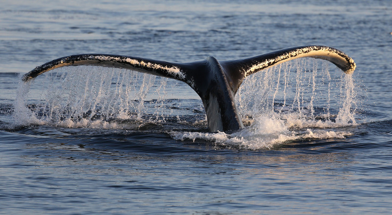 Humpback fluke in Frederick Sound.
