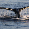 Humpback fluke in Frederick Sound.