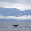 Humpback fluke against the spectacular scenery of Chatham Strait.