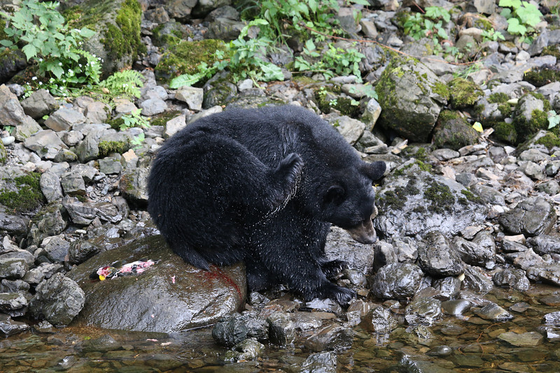 We visited the fish hatchery at Kake where there were probably around 15 black bears fishing for salmon next to the road.