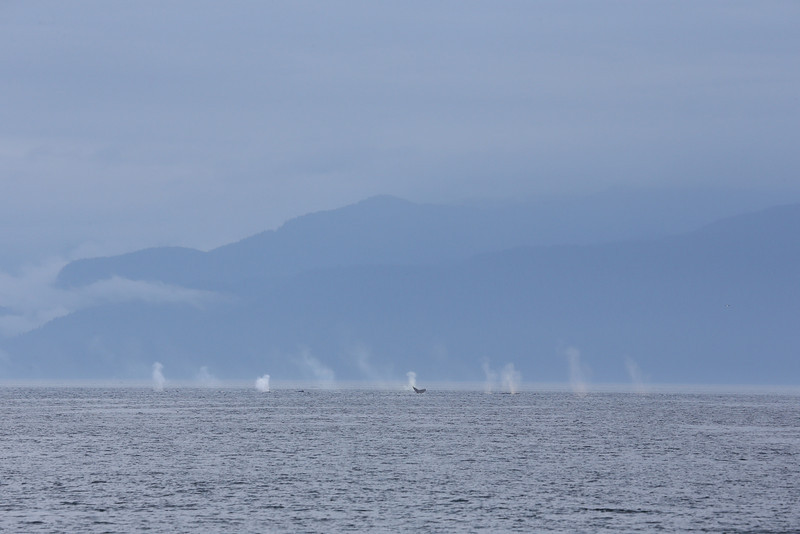 There were scores of Humpback whales feeding in Frederick Sound.  At times their blows looked like the splashed from artillery shells!