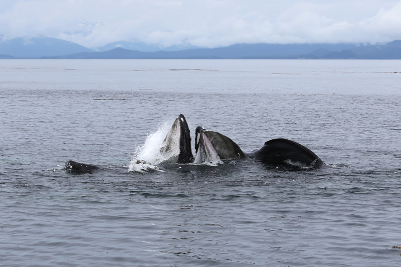 Our first view of co-ordinated bubble-net feeding, with two Humpbacks feeding in Frederick Sound.