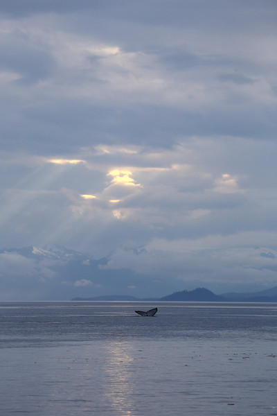 A Humpback whale fluke near sundown in Frederick Sound.