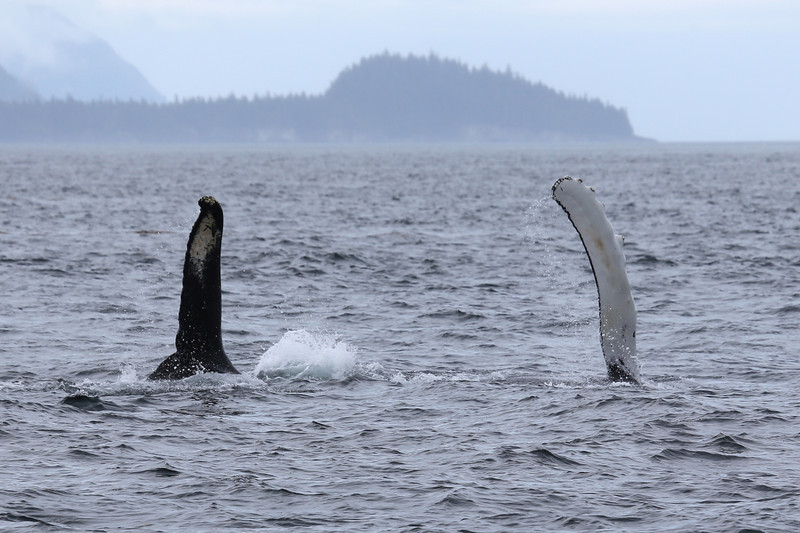 In between breaches the whale repeatedly slapped its pectoral fins.
