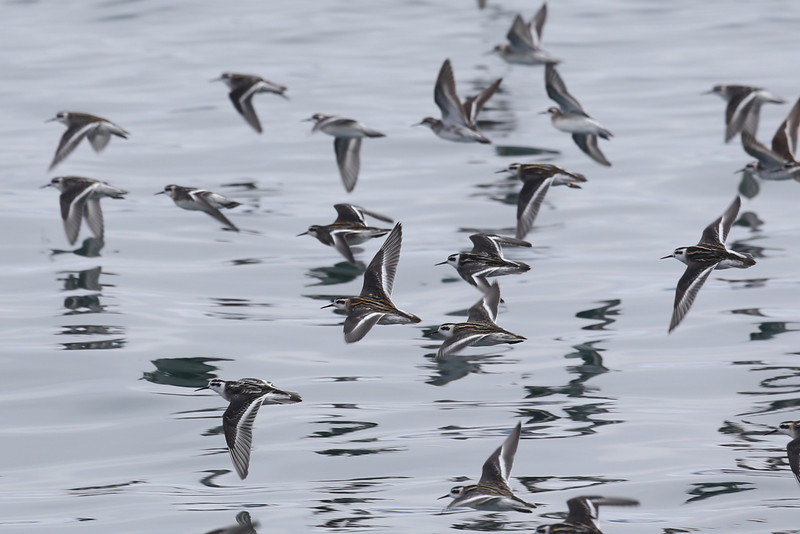 Huge flocks of Red-necked Phalarope were following Humpbacks as they lunge-fed, searching for scraps.