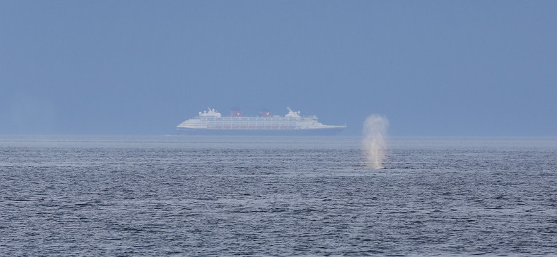 A single Humpback blows in Frederick Sound as a huge cruise ship passes by in the distance.
