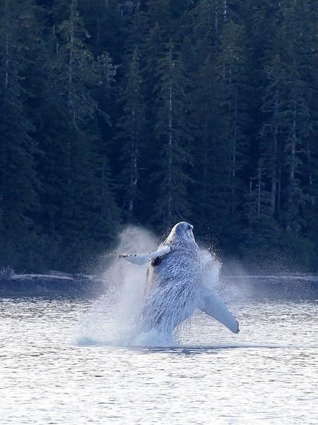 Breaching Humpback in Frederick Sound.