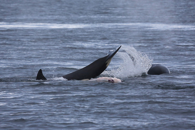 Bigg's orca and the flayed remains of a Steller sea lion.
