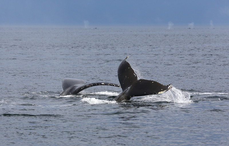 There were scores of Humpback whales feeding in Frederick Sound.