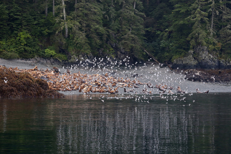 Black Turnstones flying in front of the Steller sea lion colony on The Brothers