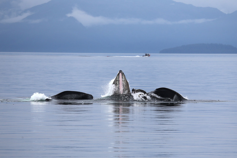 A third Humpback joined the action to bubble-net feed.