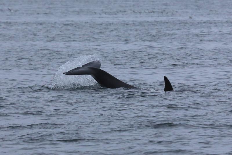 A Bigg's orca celebrating a sea lion kill