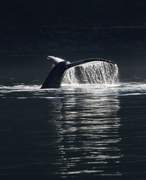 Two Humpback whales were feeding in Frederick Sound as the sun dipped below the mountains but was still illuminating their blows.