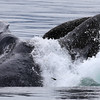Lunge-feeding Humpback in Frederick Sound with a couple of herring being scatterd.
