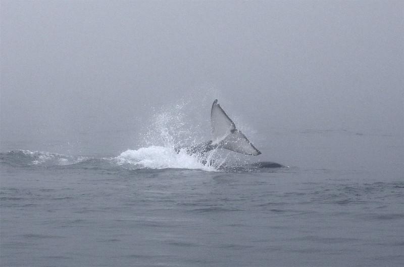 A Bigg's orca smashing its fluke down on a sea lion.