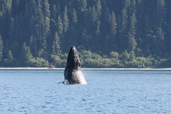 Humpback whale lunge feeding in Icy Straits, Alaska. August 2007.