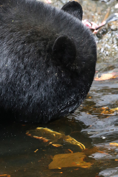 We visited the fish hatchery at Kake where there were probably around 15 black bears fishing for salmon next to the road.  The salmon that this one has caught can be seen through the water in front of it.