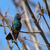 singing Broad-billed Hummingbird