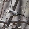 Black-capped Gnatchatcher