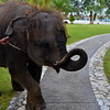 Baby elephant who greets guests every morning at breakfast