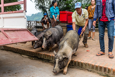 Luang Prabag, Laos, pigs heading to the day market
