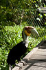 Hornbill - big and beautiful
