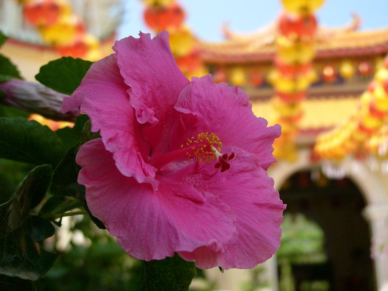hibiscus, Kek Lok Si Temple