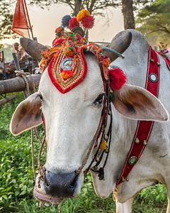 Water Buffalo dressed up for a wedding.