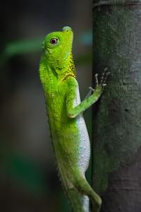 Hump-snout Lizard