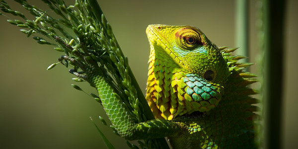 Green Forest lizard (calotes calotes)
