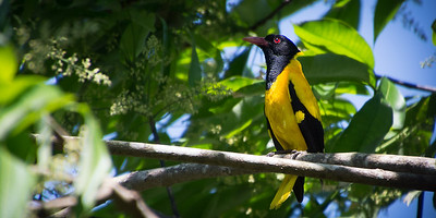 Black Hooded Oriole