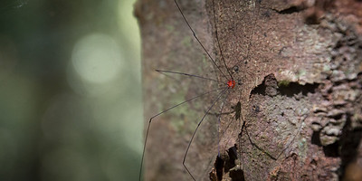 Red spots in the rain forest (Daddy longlegs)